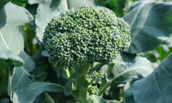 Brokkoli er en kål, og hvor sunn den er avhenger av mange ulike faktorer. (Foto: Shutterstock)