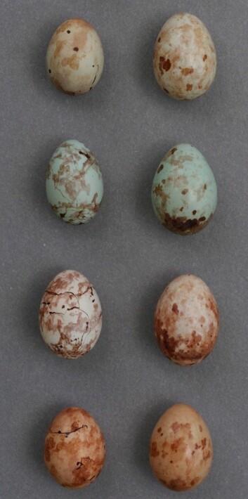 Gjøken er god til å få sine egg (kolonnen til høyre) til å ligne mest mulig på priniaens (til venstre). Men forskjellen mellom de fire variantene er stor, så de individuelle gjøkene har fortsatt dårlige odds for å lykkes. (Foto: Claire Spottiswoode)