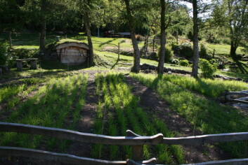 Spelt, emmer og naken bygg er kornsorter som ble dyrket i forhistorien. Nå spirer de i Botanisk hage i Stavanger. (Foto: Ragnhild Nordahl Næss, UiS)