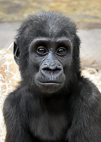 Denne gorilla-ungen har helt brune øyne. Også øyeeplene er brune.