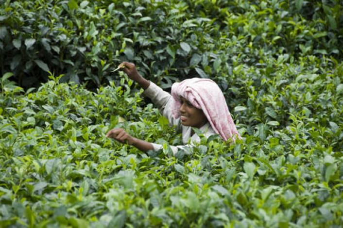 En ung tamilsk kvinne plukker te i Sri Lanka. Teplanter blir ofte sprøytet med plantevernmidler som dreper insekter og andre skadedyr. I Anuradhapura-distriktet sprøyter bøndene ofte en gang i uken, forteller Flemming Konradsen, fordi det er dette som blir anbefalt av produsentene. (Foto: Colourbox)