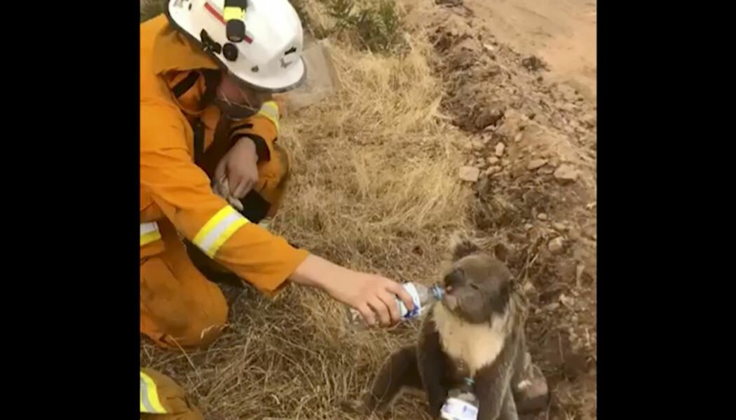 En skogbrannrammet koala i Australia får vann på flaske fra en brannmann i Cudlee Creek sør i landet. Landets koalapopulasjon er sterkt truet av de hissige skogbrannene, og flere tar nå til orde for å flytte koalaene til nabolandet New Zealand.