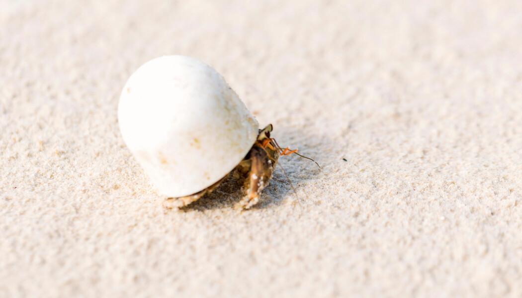 Denne eremittkrepsen har søkt tilflukt i en liten plast-kork.