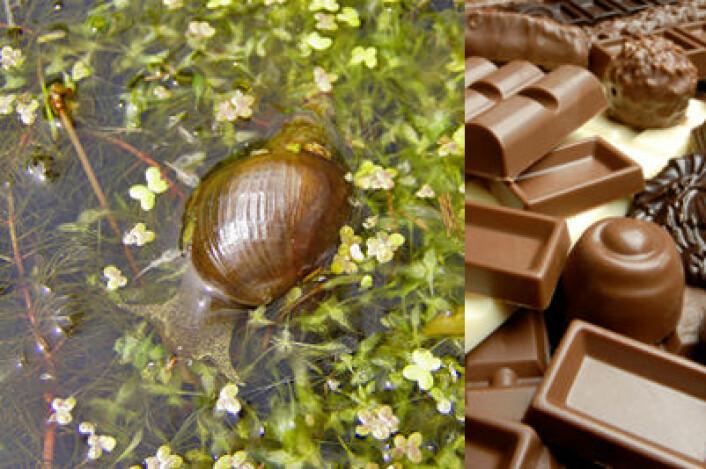Stor damsnegl (bildet) blir smartere med sjokolade. (Foto: Wikipedia Commons/iStockphoto.com)