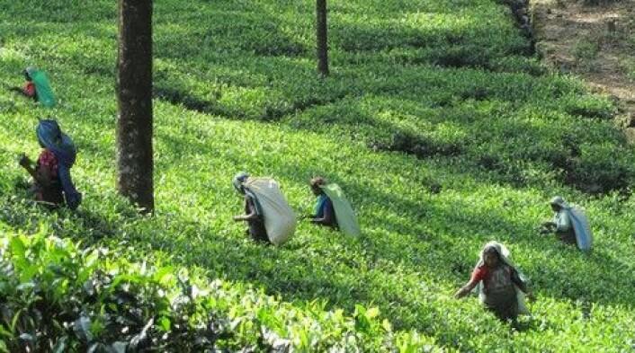 Teplukkere i Sri Lanka. (Foto: Colourbox)