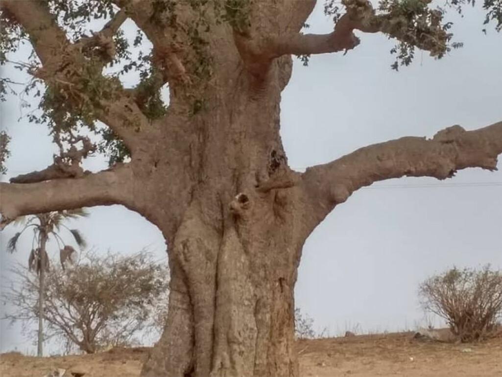 Borken på Ficus platyphylla vert brukt mot ei rekkje plager.