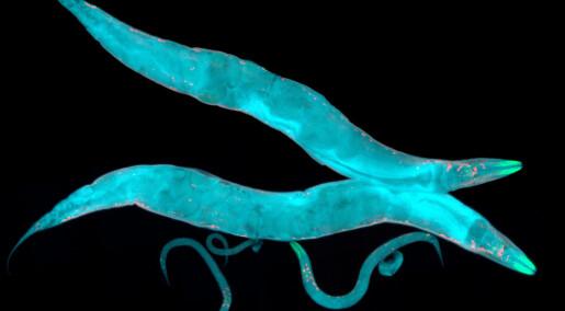 Forskere fikk rundorm til å leve fem ganger lenger enn normalt