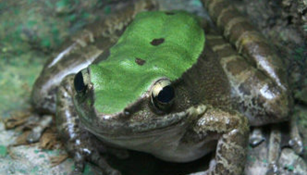 En av de illeluktede froskene under forskernes lupe; Odorrana livida. Wikimedia Commons