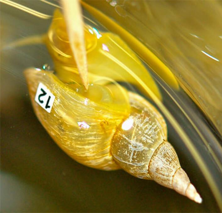 Sneglenes treningshalvtime består at de forsiktig pirkes borti med en pinne hver gang de prøver å åpne åndehullet på ryggen. (Foto: Ken Lowiak)
