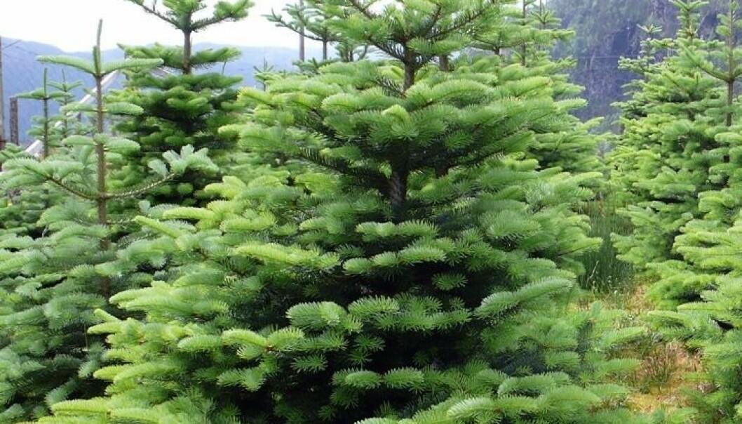 Fjelledelgran - det nye norske juletreet?