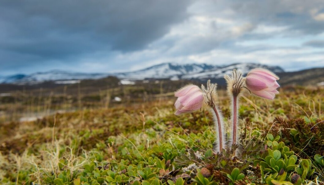 Mogop blomstrer straks etter at snøen har smeltet. Den er fylkesblomst for Oppland og et sikkert vårtegn på Dovrefjell. Kai Jensen, NTB scanpix