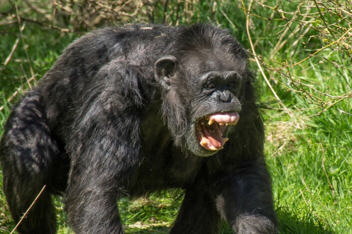 Sjimpanse som viser de kraftige kjevene. (Foto: Flickr/User:Colin)