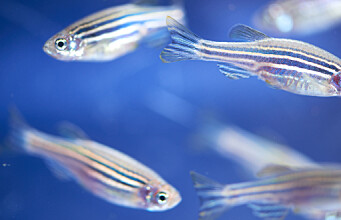 The fish helping scientists to understand the human brain