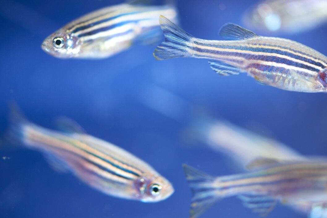 Around 70% of human genes have an equivalent in zebrafish.