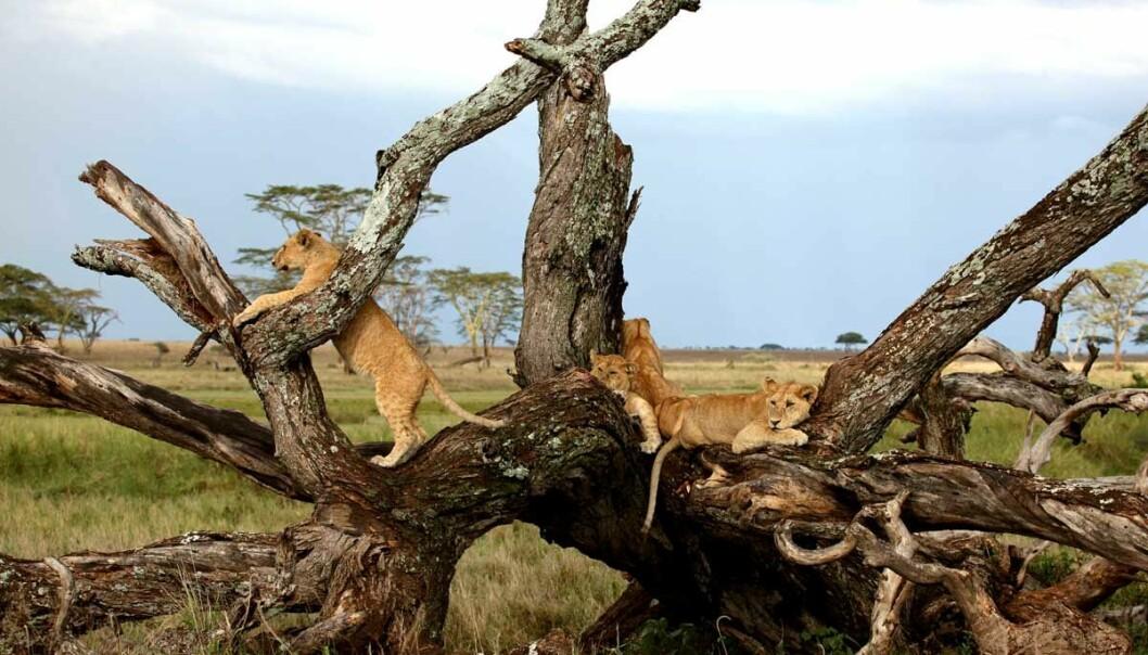 Store rovdyr regjerer: I Norge konkurrerer fjellreven med rødrev, i nasjonalparken Serenget er det løvene som regjerer. Valpene til villhundene blir drept og spist av hyener og løver, og må derfor finne seg nye, tøffere leveområder.