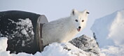 Norsk fjellrev og afrikansk villhund kan bli reddet