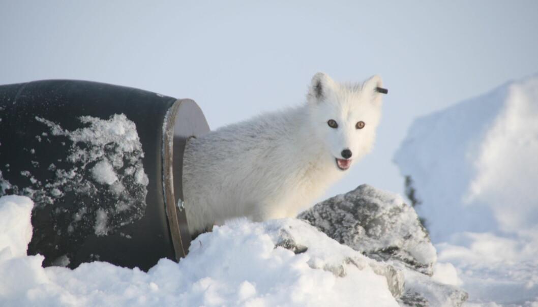 Fjellreven har vært fredet i Norge siden 1930. Ved hjelp av avl i fangenskap og utsetting av valper, med hjelpeforing i fjellet er bestanden nå økende.