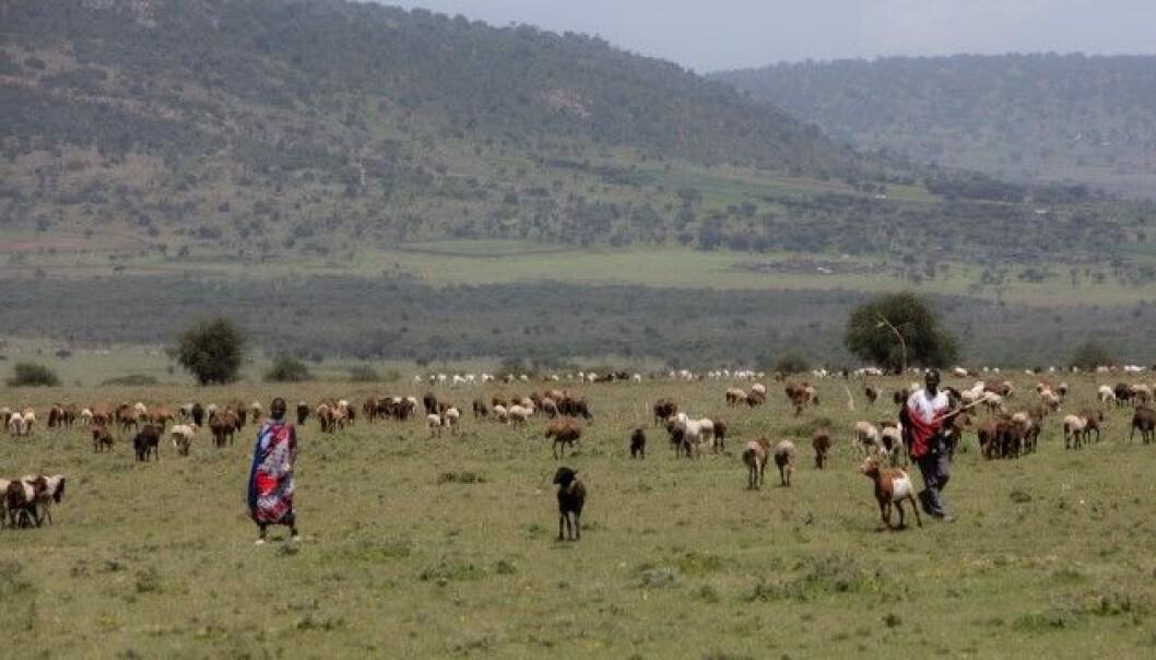 Lignende konflikter: Når villhunden tvinges ut av nasjonalparken kommer den i konflikt med masaier og beitedyrene deres. Mange konflikter knyttet til naturrestaurering er de samme, enten det er i Afrika, Europa på savannen eller på fjellet.
