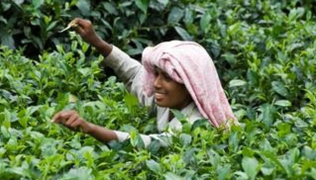 En ung tamilsk kvinne plukker te i Sri Lanka. Teplanter blir ofte sprøytet med plantevernmidler som dreper insekter og andre skadedyr. I Anuradhapura-distriktet sprøyter bøndene ofte en gang i uken, forteller Flemming Konradsen, fordi det er dette som blir anbefalt av produsentene. Colourbox