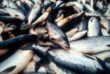 Norsk fisk har blitt for dyr for mange utenlandske kjøpere og Norge taper markedsandeler. (Illustrasjonsfoto: Colourbox.no)