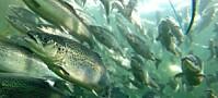 Bedre plassering av oppdrettsfisk kan gi mindre lus på Vestlandet