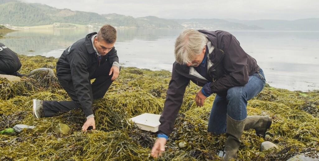 Forskere har plukket tanglopper i fjæra i Trondheimsfjorden og tatt dem med seg tilbake til laboratoriet for å dyrke frem en tangloppekultur.