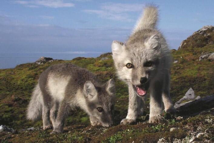 Fjellrevvalper på Svalbard. (Foto: Håvard Rønning/CC)
