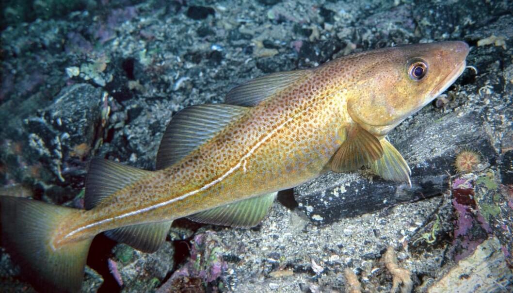 – Færre enn ett egg per million blir til fisk som får gyte selv en gang, sier forsker Bjarte Bogstad.