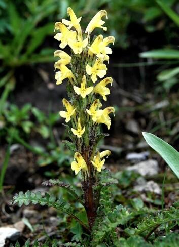 Gullmyrklegg (Pedicularis oederi) er en art som ofte blir funnet høyere i dag enn tidligere. (Foto: Forskningsprosjektet)
