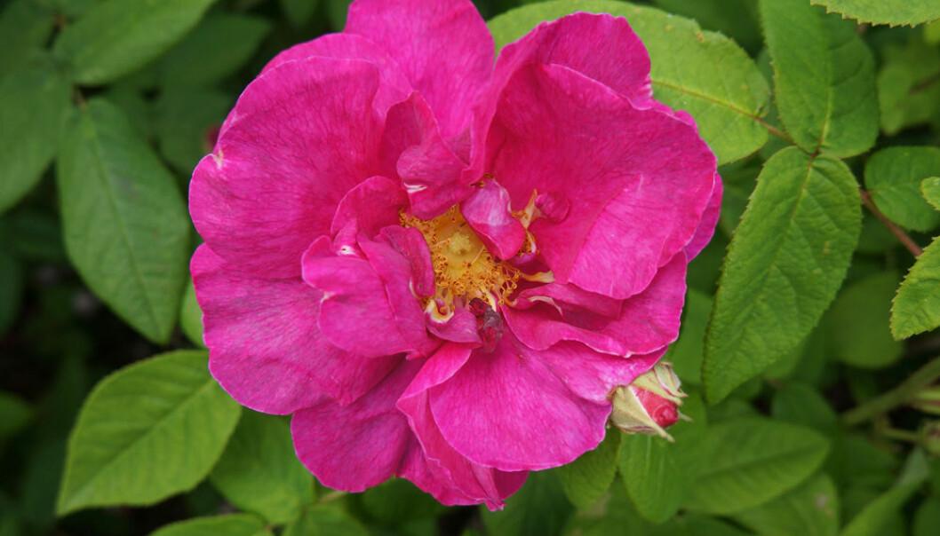 'Apotekerrose'. Denne gamle rosearten ble dyrket i urtehager, trolig for medisinsk bruk eller duften. Historien forsvinner tilbake til 1500-1600-tallet. Arnfinn Christensen, forskning.no