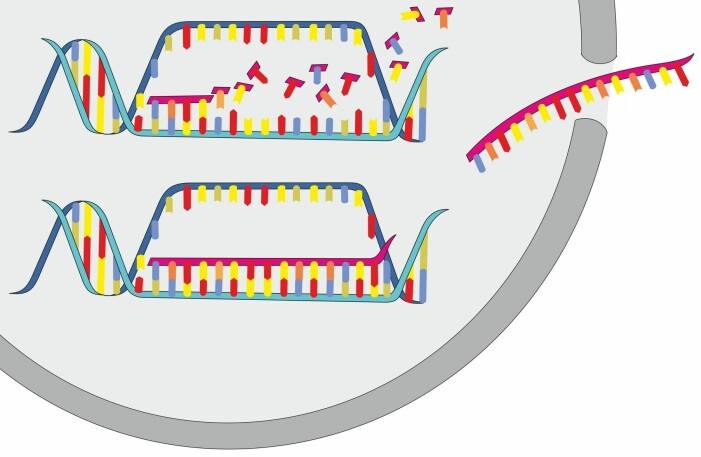 RNA-et åpner et lite segment av DNA-et, og danner en RNA-kopi av DNA-ets oppskrift på et protein. Så smetter RNA-kopien ut av cellekjernen til deler av cellen hvor proteinet kan lages.