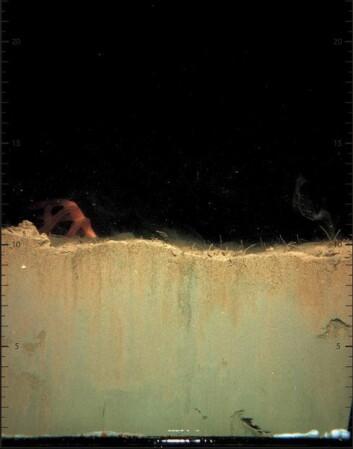 Profilbilde av sediment tatt i forbindelse med bløtbunnsundersøkelser. (Foto: NIVA)