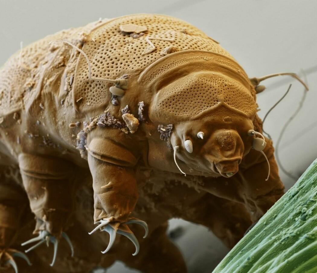 De ørsmå bjørnedyra lever i vann. For eksempel i vanndråper på bladene til fuktig mose.
