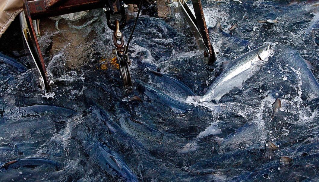 En mye brukt metode for å fjerne lakselus er ved å legge laksen i varmt sjøvann i under ett minutt. Da dør lusen.