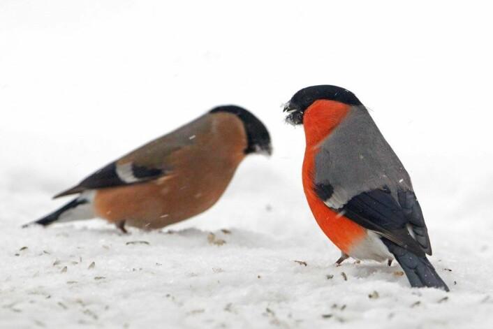 Dompapen er en av mest trofaste fugleartene vi kjenner til. Da trenger ikke hannene konkurransedyktige spermier så lenge de er i stand til å befrukte eggene. (Foto: Steinar Myhr/Samfoto)