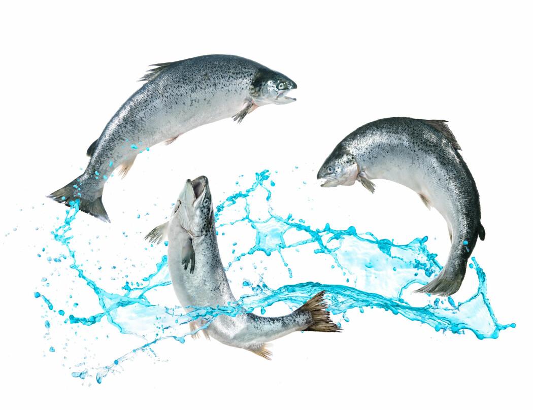 En relativt beskjeden vektøkning har betydning for verdien på fisken når den skal selges.