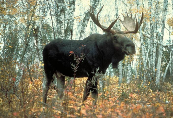 Elgen har vært skogens konge lenger enn vi hittil har trodd, viser undersøkelser av elggeviret fra Søndre Land (Foto: USDA Forest Service/Wikimedia Creative Commons)