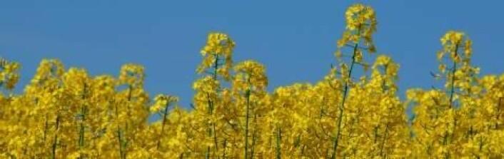 Genmodifisering av raps kan gi større utnytting av planten. (Foto: Colourbox)