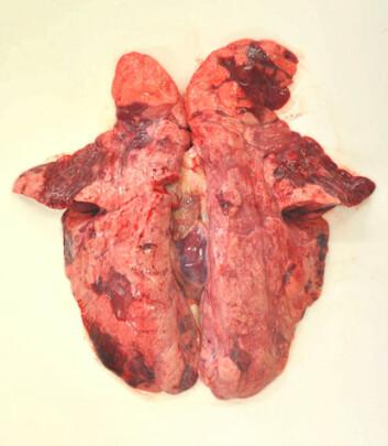 Infeksjon med influensa A (H1N1) 2009-virus gav betydelige betennelsesforandringer (mørke områder) i lungevevet hos griser i norske besetninger. (Foto: Mette Valheim)