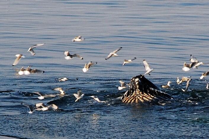 Knølhvalene jaktet i over en time, bare noen meter fra båten. Målingene i området viste at matforholdene var ypperlige for de store dyra. (Foto: Lars-Johan Naustvoll)