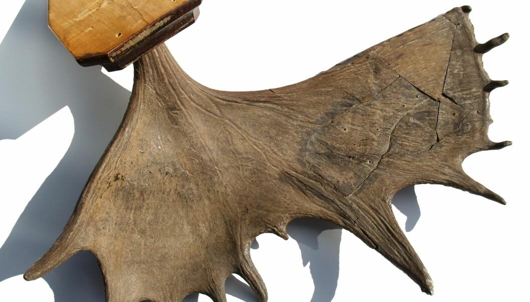 Elggevir fra Norges eldste elg, funnet i Søndre Land (Foto: Finn Audun Grøndahl)