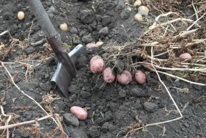2010 godkjente EU en genmodifisert potet med økt stivelsesinnhold. Foreløpig er ingen GMO-poteter godkjent i Norge. (Foto: Colourbox)