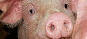Lunger fra gris kan gi influensasvar