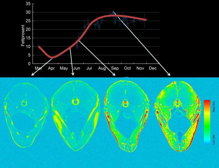 Øverst: Fettmengden i makrellen endres svært mye i løpet av året. Nederst: Disse MR-skanningene viser hvordan hvordan fettet finfordeles innover i fiskefileten. I september og oktober (når japanerne vil ha makrellen vår) er det sunne fiskefettet blitt fordelt over hele fisken. (Foto: (Figur: NIFES))