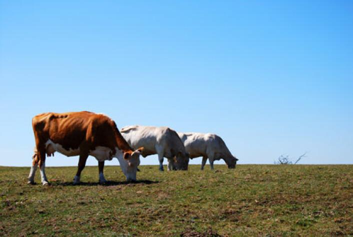 Ubehandlet melk fra svenske kuer kan ha mange bakterier som kan gi sykdom hos mennesker. (Foto: Colourbox.com)