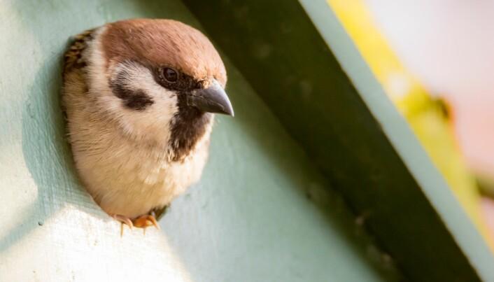 Pilfinker kan godt bo i fuglekasser.