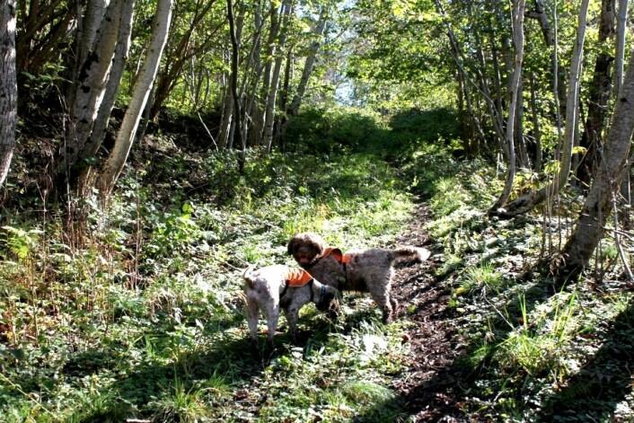 Trøffelhundene Sofia og Viktoria. (Foto: Anne Molia)