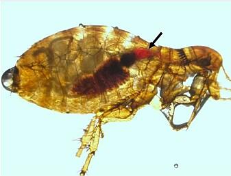 Pestbakterie tvinger lopper til å suge blod