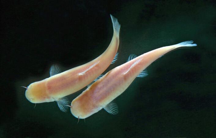 Også blinde fisker som ikke har sett sollys på to millioner år har en indre klokke. (Foto: Saulo Bambi)