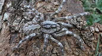 Ny, gigantisk edderkoppart funnet på Sri Lanka